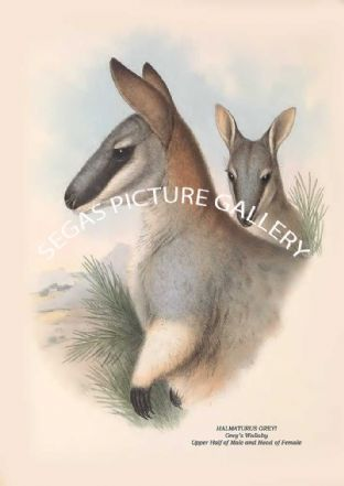 HALMATURUS GREYI - Greys Wallaby